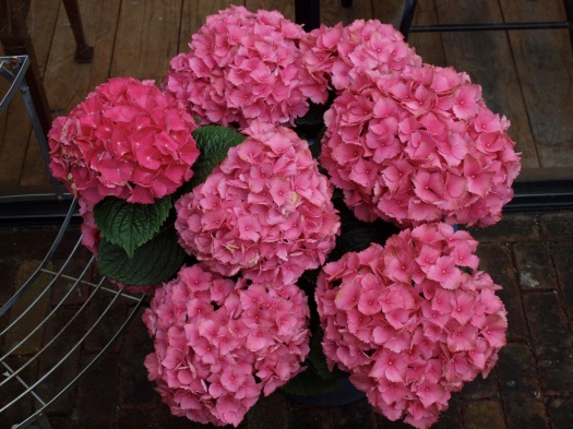 Beautiful hortensia from G