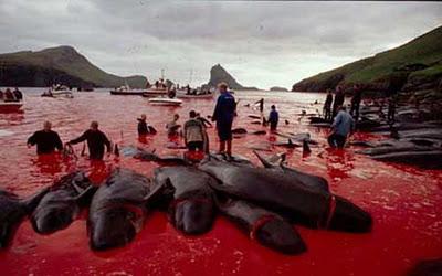 dolphin Faroe_whale_massacre